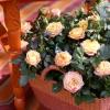 rosa_002