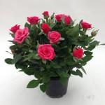 Pink-Bari-9-cm_001