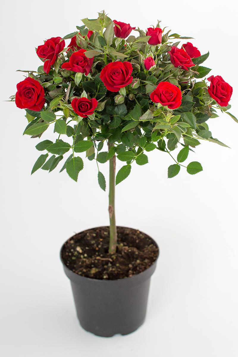 Love Me Opstammet Mini Rose Rosa Dk