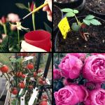 Med en pensel bestøver Rosa hele foråret og forsommeren et væld af forskellige roser. Samtidig spirer de kerner der blev sået året før. Til efteråret kan der høstes. Hvert hyben indeholder flere kerner, der alle er genetisk forskellige.