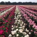 Testen foregår i markerne hos store roseplanteskoler på Nordfyn. Her selekteres de bedste og de kan derefter komme til at pryde private og offentlige haver rundt i hele verden.