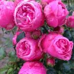 Rose X_foto af Roses Forever