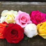 Rosas roser skabes i mange farver – fra doucehvid med skær af rosa og gyldengul til knald på paletten