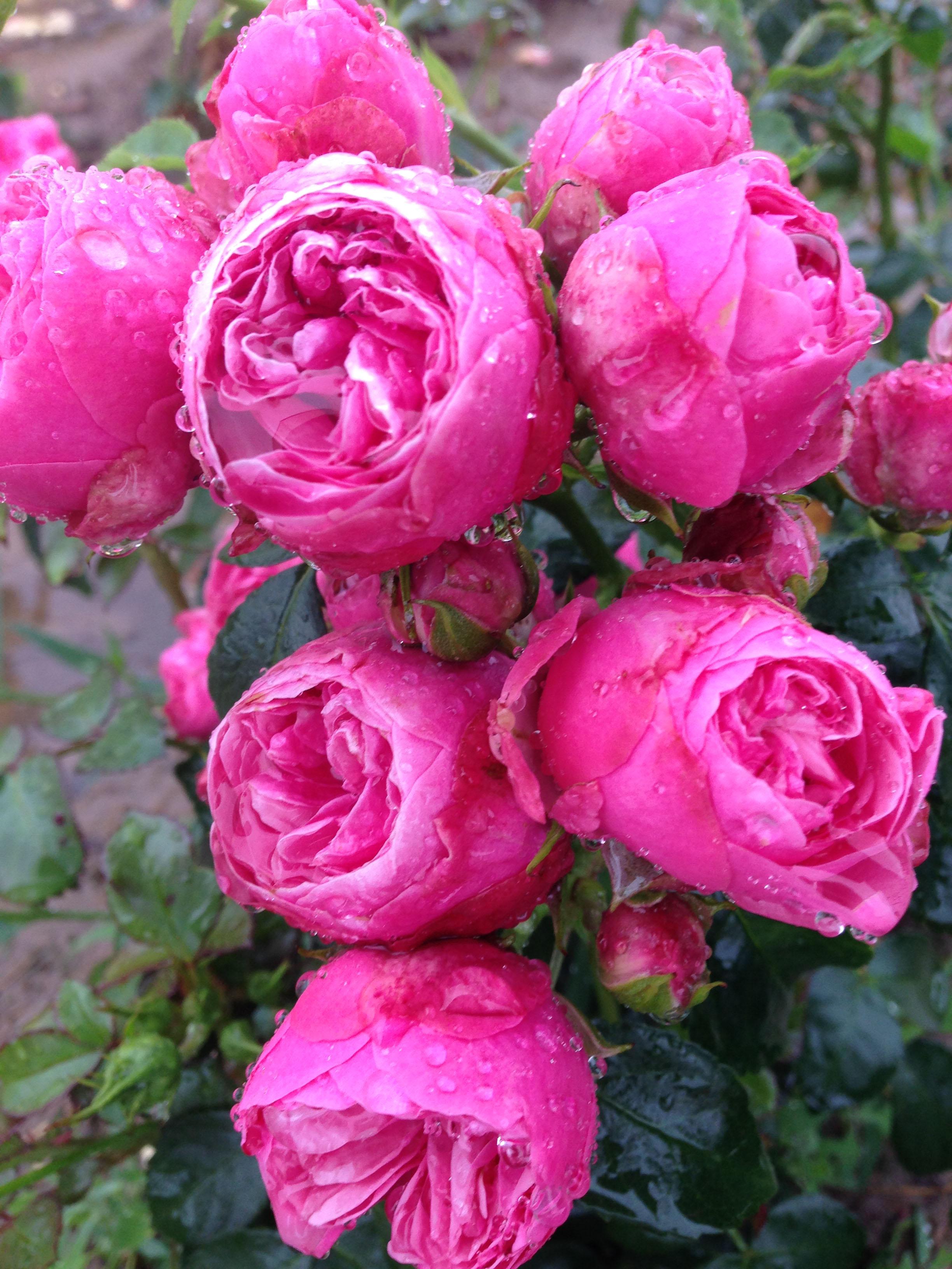 fint skal det være rose